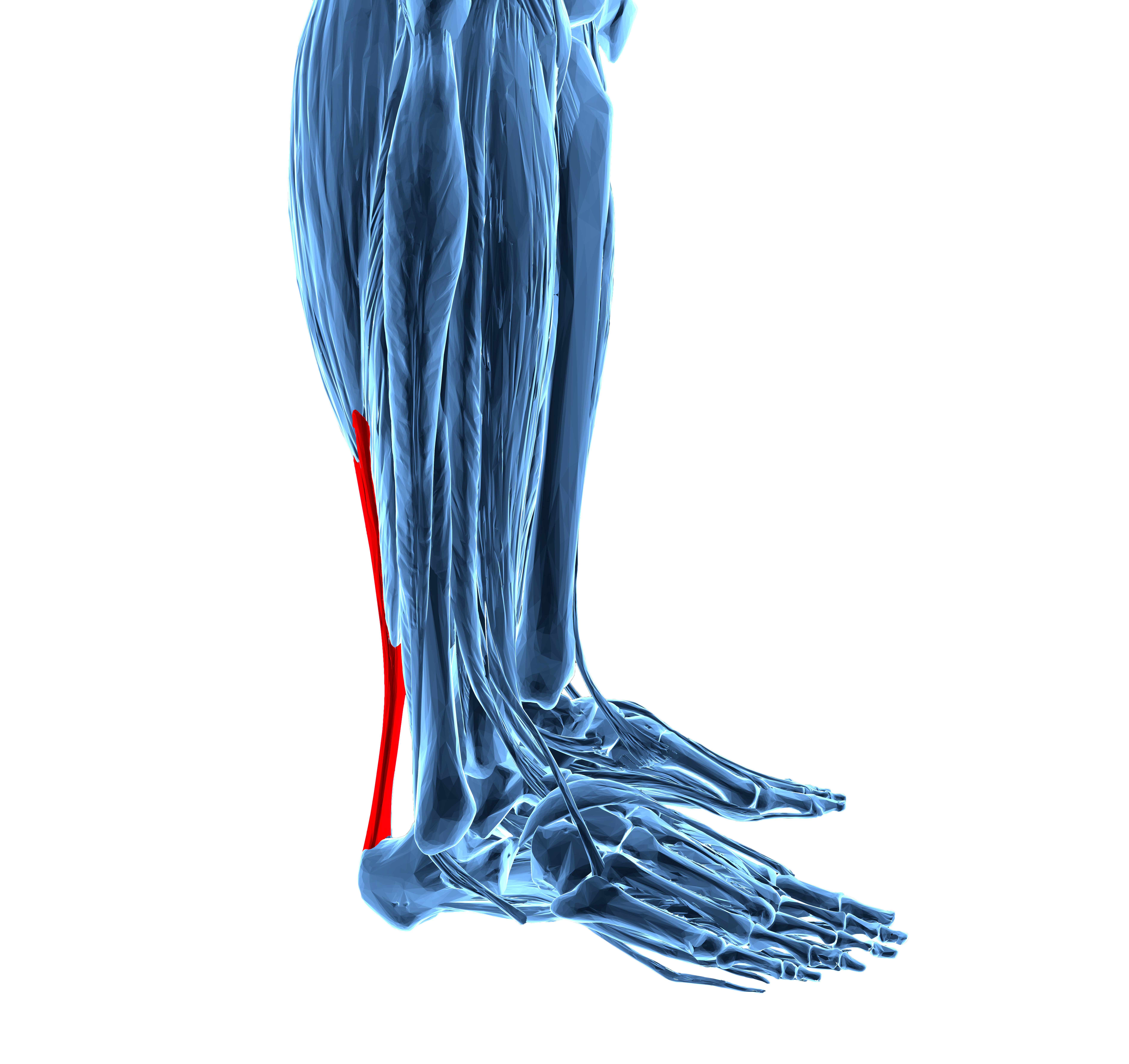 achilles tendon Find achilles tendon stock images in hd and millions of other royalty-free stock photos, illustrations, and vectors in the shutterstock collection thousands of new.